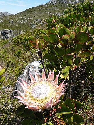 Peninsula Sandstone Fynbos - Protea cynaroides growing in Peninsula Sandstone Fynbos on the Cape Peninsula.