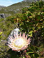 Peninsula Sandstone Fynbos - KingProtea - Table Mountain.JPG