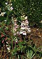 Penstemon palmeri - Flickr - peganum (1).jpg