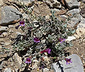 Penstemon thompsoniae ssp jaegeri 1.jpg
