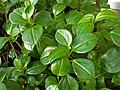 Peperomia tetraphylla 2011-01-17.jpg