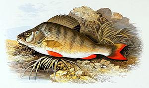 European perch - Image: Perca fluviatilis 1879