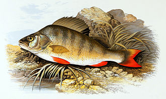 European perch - Image: Perca fluviatilis 1879