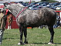 Percheron Fillongley Show 2010.jpg