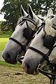 Percherons attelés mondial du cheval percheron 2011Cl J Weber03 (23715648449).jpg