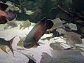 Perciformes - Copadichromis borleyi - 1.jpg
