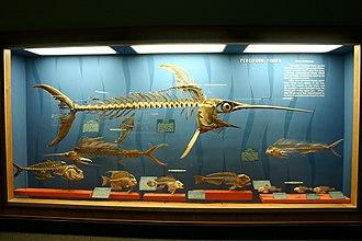 Perciformes - Perciformes display at the National Museum of Natural History.