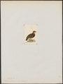 Perdix charltoni - 1820-1863 - Print - Iconographia Zoologica - Special Collections University of Amsterdam - UBA01 IZ17100103.tif