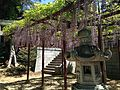 Pergola of wisteria floribunda and stone lantern in Kashii Shrine.JPG