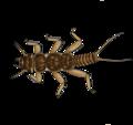 Perlidae.png