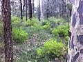 Persoonia pauciflora 5.jpg