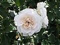 Petticoat (Kordes 2004).JPG