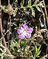 Phacelia vallis-mortae 5.jpg