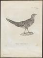 Phasianus soemmeringii - 1700-1880 - Print - Iconographia Zoologica - Special Collections University of Amsterdam - UBA01 IZ16900246.tif