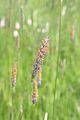 Phleum pratense1.jpg