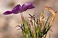 Phlox nana - Flickr - aspidoscelis (3).jpg