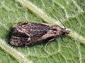 Phtheochroa inopiana - Plain conch (27451199548).jpg