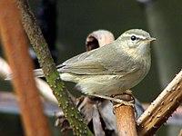 Phylloscopus fuscatus.jpg