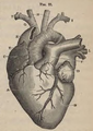 Physiology for Young People - 1884 - Heart (cropped).png