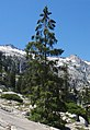 Picea breweriana Canyon Creek Lakes 2.jpg