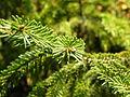 Picea orientalis 31.JPG