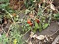 Pico da Antonia-Tomates sauvages.jpg
