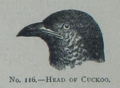Picture Natural History - No 116 - Head of Cuckoo.png
