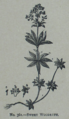 Picture Natural History - No 361 - Sweet Woodruff.png