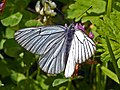 Pieridae - Aporia crataegi-002.jpg