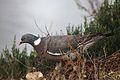 Pigeon ramier (4).JPG