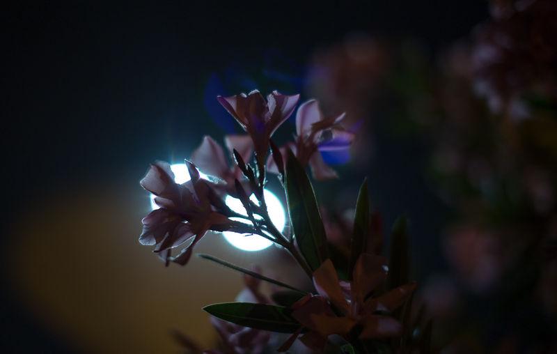 פרחי לילה