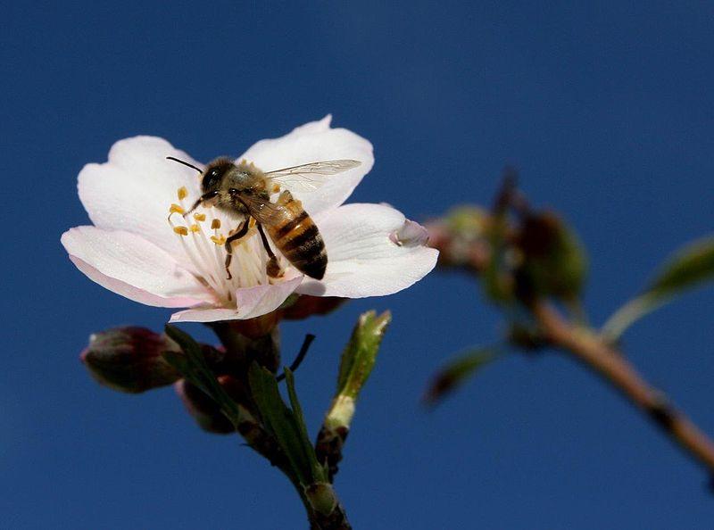 דבורה מאביקה פרח שקד