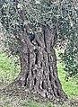 PikiWiki Israel 74003 old olive tree.jpg