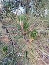 Pine - Πεύκο 02.jpg