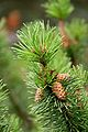 Pine tree, Jodrell Bank 1.jpg
