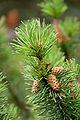 Pine tree, Jodrell Bank 1.jpg
