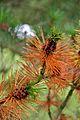 Pine tree, Jodrell Bank 2.jpg