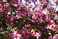 Pink-tree-flowers - West Virginia - ForestWander.jpg