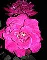 Pink rose nit.jpg