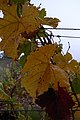 Pinot Leaves in autumn.jpg