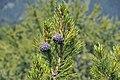 Pinus cembra cones in Gröden.JPG