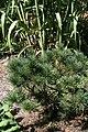 Pinus strobus Bloomers Dark Globe 2zz.jpg