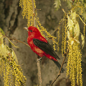 Scarlet tanager - Male moulting to his duller feathers during autumn