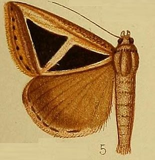 <i>Parachalciope</i> genus of insects