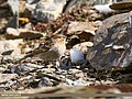 Plain Mountain Finch (Leucosticte nemoricola) (38450258452).jpg