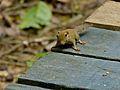 Plain Pigmy Squirrel (Exilisciurus exilis) (8076723234).jpg