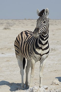 Plains Zebra Left 2019-07-25.jpg
