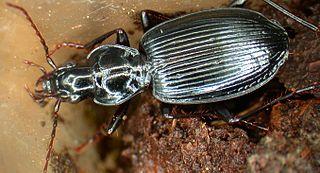 <i>Platynus</i> Genus of beetles