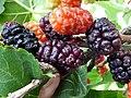Plody moruše čiernej.jpg