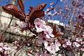 Plum blossom @ Paris (25188216509).jpg